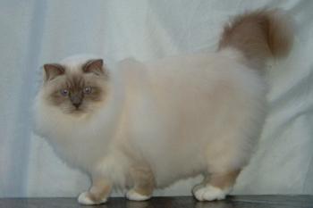 kat med korte ben